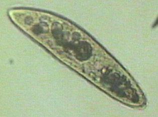 paramecium1.jpg